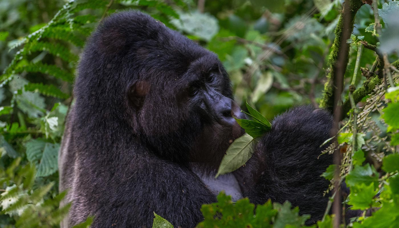 Gorilla trekking at Bwindi impenetrable forest-Uganda Gorillas