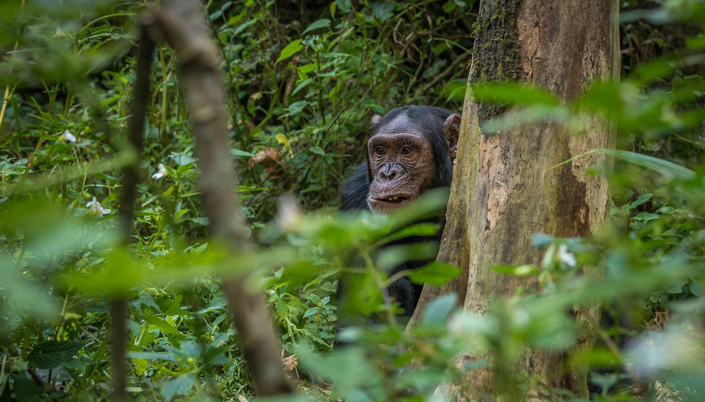 Chimpanzee Tracking and Habituation in Uganda